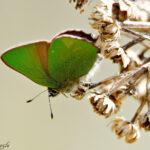 Kangasperhonen - kuva Mehmet Cadiroglu