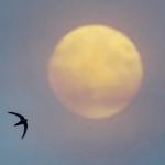 Kuu ja tervapääsky. Kuva: Esa Mälkönen