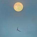 Kuu ja kalatiira. Kuva: Esa Mälkönen