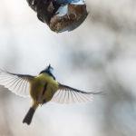 Sinitiainen - Kuva: Paul Stevens