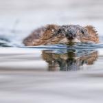 Piisami ui kohti. Kuva Tuomas Heinonen