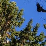 Huuhkaja ja varis lentää yli. Kuva: Timo Leppäharju