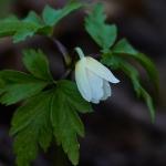 Valkovuokko alkoi kukkia. Kuva Jukka Ranta