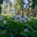 Ketunleivät kukkivat nyt runsaina. Kuva: Jukka Ranta