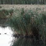 Monimetristä järviruokoa. Kuva: Esa Mälkönen
