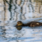 Sinisorsan poikanen siivilöi vettä. Kuva: Timo Leppäharju