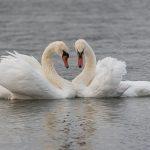 Kyhmyjoutsenperhe ja tulvaa – Viikot 37-38 /2019