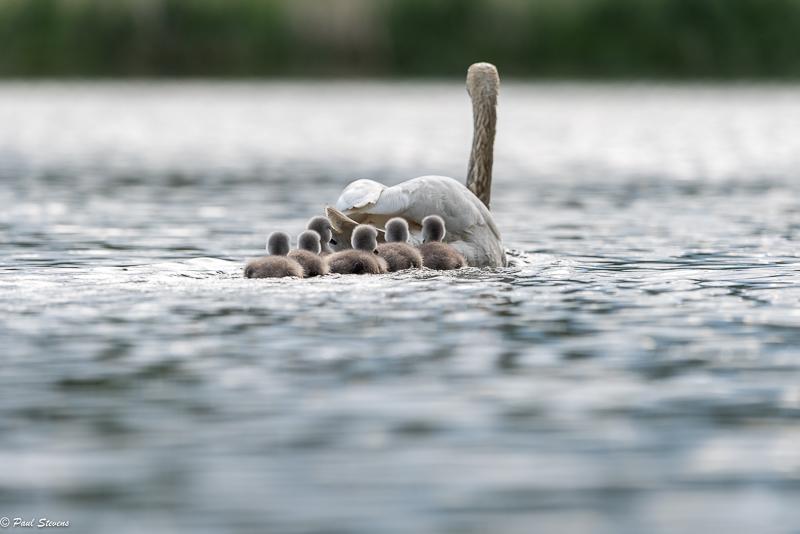 Kyhmyjoutsen perhe Kuva: Paul Stevens