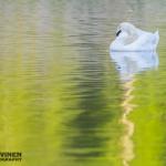 Kyhmy torkkuu - Kuva: Tomi Järvinen