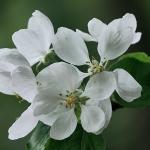 Lämpöputken omenapuun kukinto - Kuva Jukka Ranta