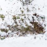 Metsäkauriin makuupaikka - Kuva: Tuomas Heinonen