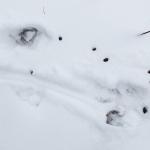 Metsäkauris on ollut paikalla - Kuva: Tuomas Heinonen