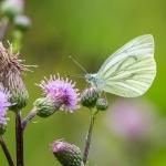 Lanttuperhonen - Kuva Paul Stevens