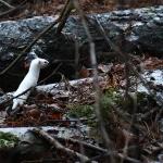 Lumikko saalistaa - Kuva: Janne Haapa-aho