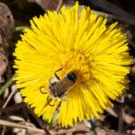 Maamehiläinen - Kuva Helmut Diekmann
