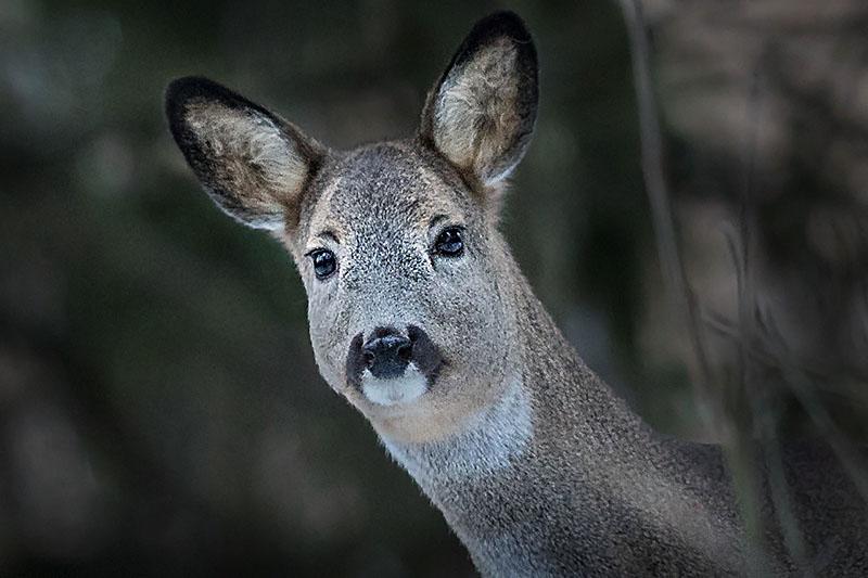 Metsäkauris _ Kuva Esa Mälkönen