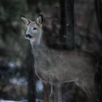 Metsäkauris_Kuva Esa Mälkönen