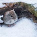 Metsämyyrä _Kuva Esa Mälkönen