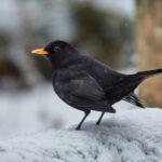 Vanhan ajan talvi – Viikkoraportti, viikot 1-4/2021