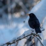 Mustarastaskoiras - Kuva Timo Leppäharju