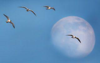Naurulokit kuutamolla - Kuva Esa Mälkönen