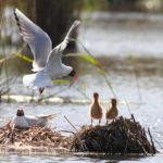 Uusia lintupoikueita ja värikästä kasvimaailmaa – Viikko 22/2019