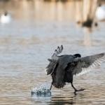 Vesikiitäjä - Kuva: Bore Wanner