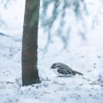 Puukiipijä - Kuva Esa Mälkönen