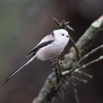 Pyrstötiaiset viihtyvät puron varren puissa - Kuva: Mikko Joensivu