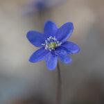 Sinivuokko - Kuva Paul Stevens