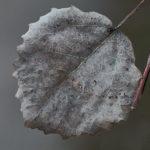 Talven lehti: Haapa - Kuva: Jukka Ranta