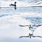 Telkkiä ja sorsia on purossa - Kuva: Esa Mälkönen