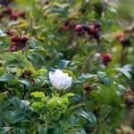 Valkoinen ruusu - Esa Mälkönen