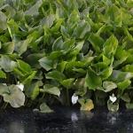 Vehkakasvustot alkavat kukkia - Kuva Esa Mälkönen