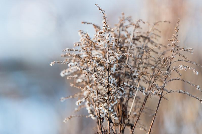 Kanadanpiisku tammikuussa - Kuva: Jukka Ranta