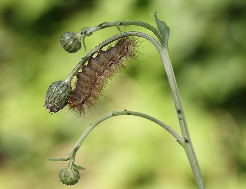 Ilvessiilikkään toukka - Kuva: Helmut Diekmann