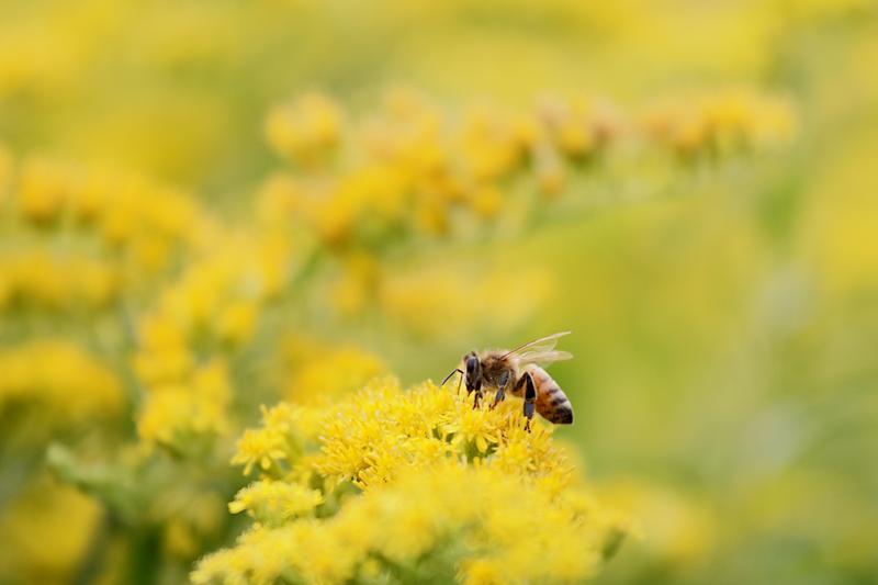Duunarit ovat vielä töissä - mehiläiset pitävät kanadanpiiskusta - Kuva: Jukka Ranta