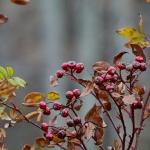 Metsäruusu - Kuva: Jukka Ranta
