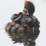 Mustakurkku-uikun poikaskuljetus - Kuva: Kati Smolander
