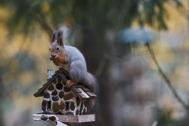pääkuva-orava