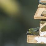 Vihervarpunen ruokinnalla - Kuva: Mikko Joensivu