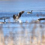 Kanadanhanhet kisailivat puronsuun sulassa - Kuva: Tommi Heinonen
