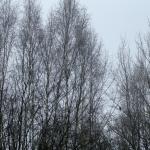 Kanahaukka päivystää puiden lomassa - Kuva: Timo Leppäharju