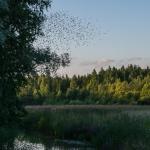 Kottaraiset parveilevat - Kuva: Paul Stevens