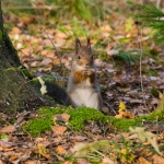 Orava on löytänyt ruokintapaikalle - Kuva: Paul Stevens